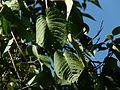 Ipomoea campanulata (3094845733).jpg