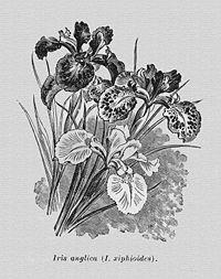 http://upload.wikimedia.org/wikipedia/commons/thumb/a/a4/IrisAnglica.jpg/200px-IrisAnglica.jpg