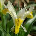 Iris bucharica flower1.jpg