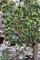Iris mesopotamica under tree.jpg