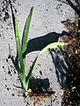 Iris one rhizome.jpg