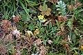 Isländsk getväppling - Anthyllis vulneraria ssp. borealis0120 - Flickr - Ragnhild & Neil Crawford.jpg