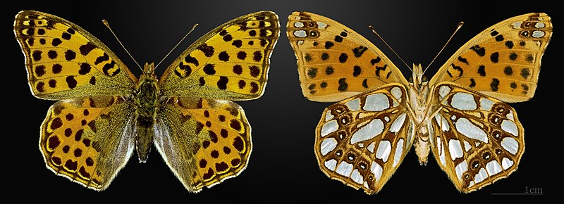 File:Issoria lathonia MHNT CUT 2013 3 24 Meyrueis Female.jpg