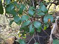 Ixora brachiata (5338165081).jpg