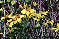 J20161013-0046—Bahiopsis laciniata—RPBG—DxO (30285343971).jpg