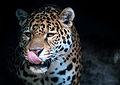 Jaguar (11280137214).jpg