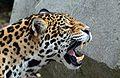 Jaguar femelle.jpg