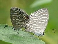 Jamides celeno mating by Kadavoor.jpg