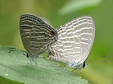 Jamides celeno mating by Kadavoor.jpg