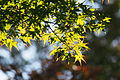 Japanese Maple (Acer palmatum) (22246608149).jpg
