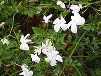 Jasminum officinale Enfoque 2010-7-11 TorrelaMata.jpg