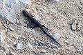 Jaszczurka zwinka nad Wisłą w Piekarach, 20210707 0513 7982.jpg
