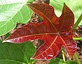 Jatropha hybrid - Young leaf (78 DAS) (4595487534).jpg