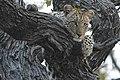 Jeune panthère dans un arbre.jpg