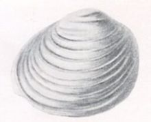 Johansen 1904 Fig-2 Pisidium clessini.jpg