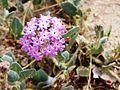 Joshua Tree National Park flowers - Abronia villosa - 2.JPG