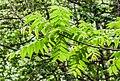 Juglans australis in Hackfalls Arboretum (2).jpg