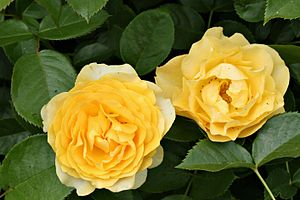 Julia Child - The Julia Child Rose cultivar is known for its yellow blooms.
