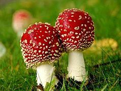Immagine che mostra due funghi con berretti rossi su un prato