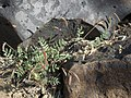 Keel beak, Astragalus acutirostris (16119306070).jpg