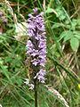 Kerrera - Dactylorhiza fuchsii 01.JPG