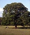 Keswick-18-Baum-Rinder-1989-gje.jpg