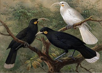 Huia - Painting by J. G. Keulemans of a female, a male, and a white female