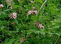 Kolkwitzia-amabilis.JPG