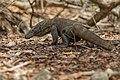 Komodo dragon (Varanus komodoensis) on Pulau Rindja - Indonesia 16.jpg