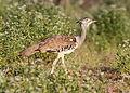 Kori bustard, Ardeotis kori, at Mapungubwe National Park, Limpopo, South Africa (17512291043).jpg