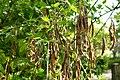 Korina 2013-05-06 Laburnum anagyroides 1.jpg