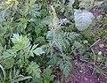 Korina 2015-09-09 Ambrosia artemisiifolia.jpg