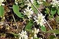 Korina 2016-05-01 Amelanchier alnifolia 1.jpg