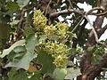 Kydia calycina - Ganeshgudi 04.JPG