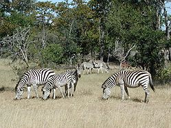 Zebras d'as planas
