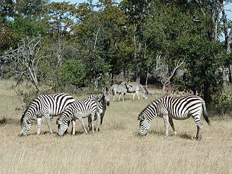 Tourism in Namibia - An example of Namibian wildlife, the Plains Zebra, which feature prominently