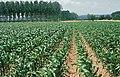 LPCC-808-Plantes de blat de moro en creixement.jpg