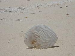 Nacelle d'un argonaute voilier, échouée sur une plage.