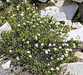Labrador tea Rhododendron columbianum plant.jpg