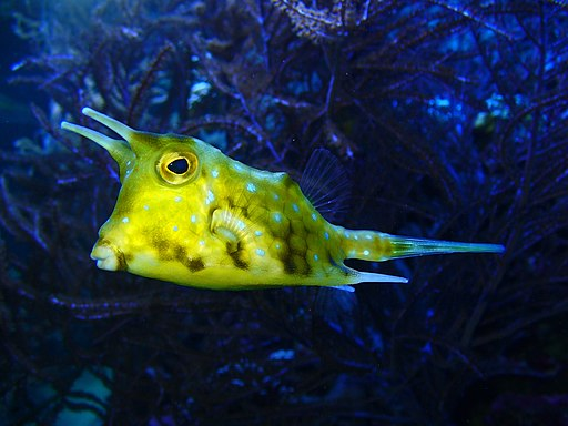 longhorn cowfish photo by h zell via wikimedia comons
