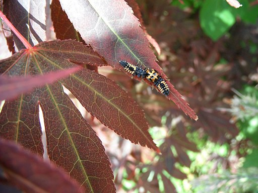 Ladybug larvaes (Coccinellidae sp.) on Maple leaf plant 1