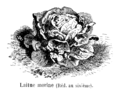 Laitue morine Vilmorin-Andrieux 1904.png
