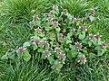 Lamiales - Lamium purpureum - 6.jpg