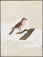 Lanius superciliosus - 1796-1808 - Print - Iconographia Zoologica - Special Collections University of Amsterdam - UBA01 IZ16600423.tif