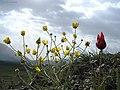 Lar, Kamardasht, nice flowers گلهای زیبا، کمردشت لار، تپه های بالای قُرقُره چشمه - panoramio.jpg