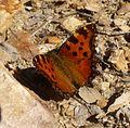 Large Tortoishell. Nymphalis polychloros. - Flickr - gailhampshire.jpg