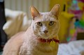 Larry the cat sitting on a bed (DSC 0010).jpg