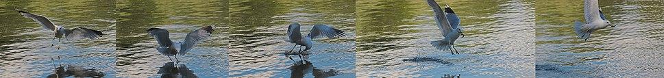 Larus canus fishing sequence