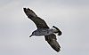 Larus michahellis juvenile in flight, Sète05.jpg