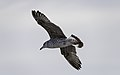 Larus michahellis juvenile in flight, Sète05.jpg